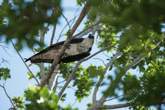 Osprey in Captiva
