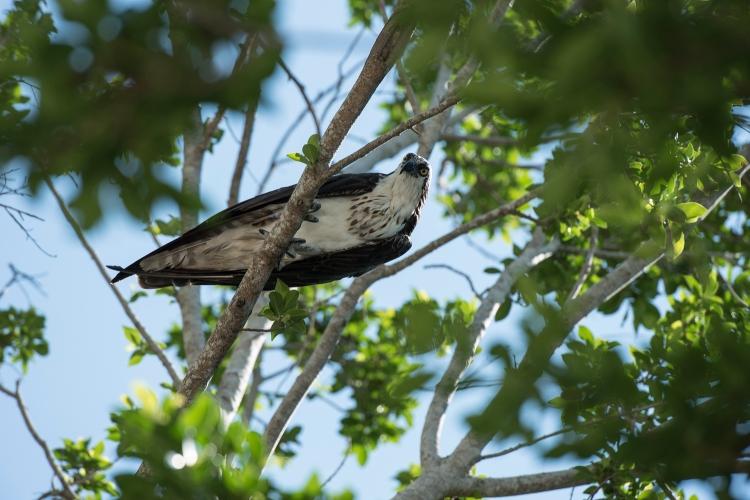 Osprey in Captiva