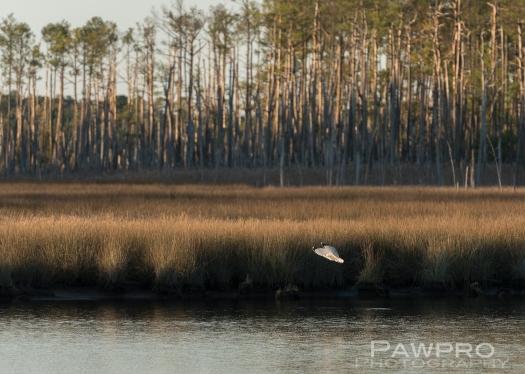BirdhuntingBlackwaterNWRPAW5976