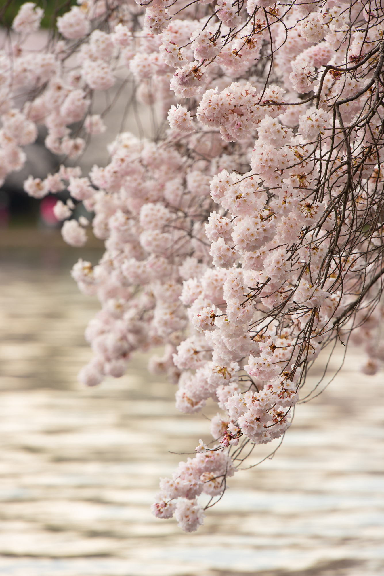 Cherry Blossoms A Blooming Break from Coronavirus Pandemic for DC