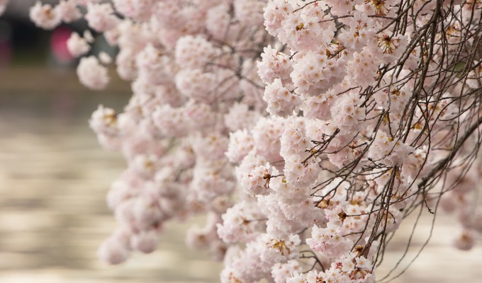 Cherry Blossoms A Blooming Break from Coronavirus Pandemic forDC